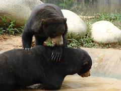animal, american black bear, mammal, fauna, bear, wildlife,