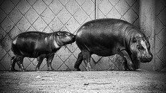 water buffalo(0.0), wildlife(0.0), animal(1.0), hippopotamus(1.0), zoo(1.0), monochrome photography(1.0), fauna(1.0), monochrome(1.0), black-and-white(1.0), black(1.0),