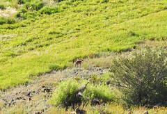Coyote at Mormon Lake