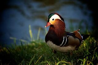 Little Colorful Quacker