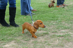 hound(0.0), redbone coonhound(0.0), vizsla(0.0), dog breed(1.0), animal(1.0), segugio italiano(1.0), dog(1.0), pet(1.0), polish hunting dog(1.0), carnivoran(1.0),