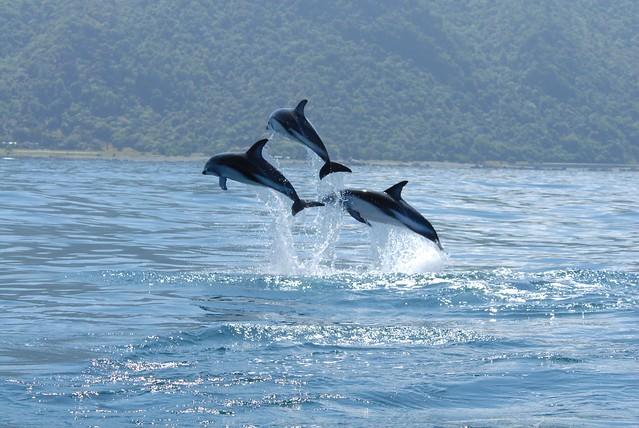 Delfín de Fitzroy (Lagenorhynchus obscurus)
