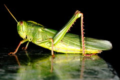 Grasshopper on a stone table