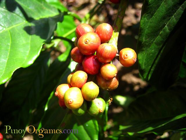 Barako Coffee Philippines