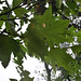 Western Sycamore - Photo (c) Bri Weldon, some rights reserved (CC BY)