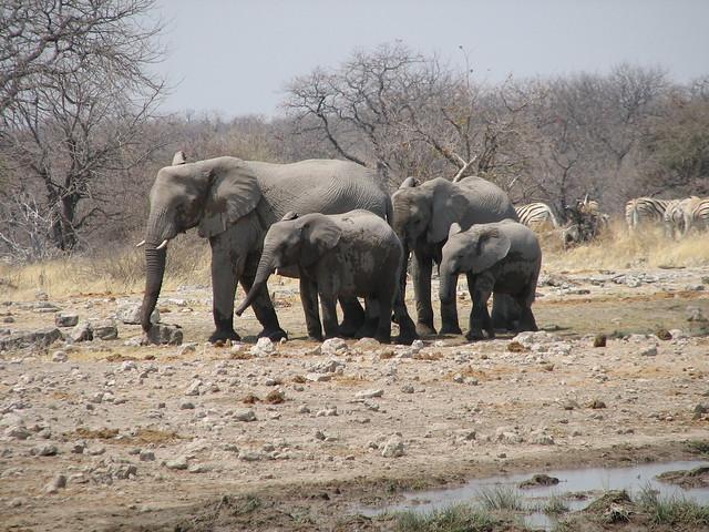 Elefante en el Parque Nacional Etosha, Namibia