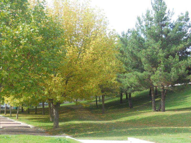 Arce negundo en otoño 2
