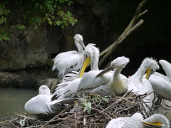 stork(0.0), animal(1.0), pelican(1.0), fauna(1.0), ciconiiformes(1.0), great egret(1.0), heron(1.0), beak(1.0), bird(1.0), seabird(1.0), wildlife(1.0),