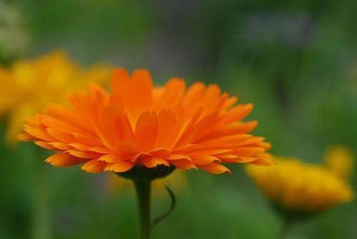 Orange aster