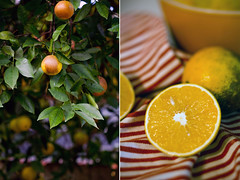 clementine, calamondin, citrus, orange, lemon, yellow, plant, yuzu, produce, fruit, food, tangelo, bitter orange, citron, lime, tangerine, mandarin orange,