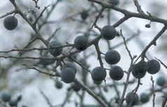 shrub(0.0), flower(0.0), winter(0.0), snow(0.0), plant(0.0), damson(0.0), frost(0.0), bilberry(0.0), berry(1.0), branch(1.0), produce(1.0), fruit(1.0), food(1.0), prunus spinosa(1.0), twig(1.0),