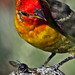Western Tanager by Steve Gifford by Steve Gifford - IN