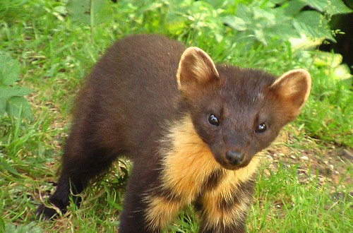 Pine Marten nearby in the forest.