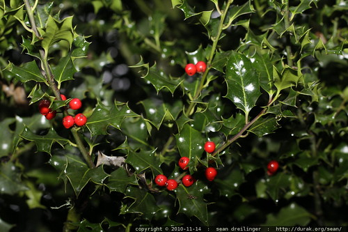 neighborhood holly bush