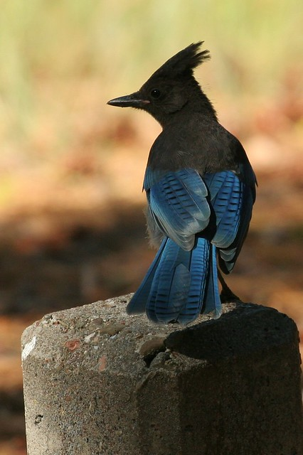 Steller's Jay | Flickr - Photo Sharing! Jay Z