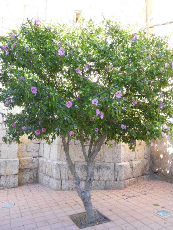Hibiscus syriacus 'Coelestis' v 2