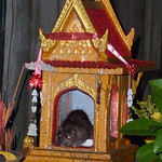 A Rat Eats All the Goodies at the Buddhist Altar - Koh Samui, Thailand