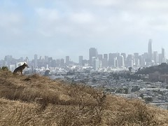 Bernal Coyote