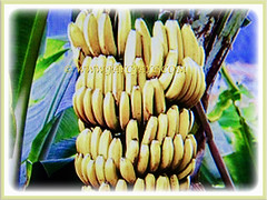 Mesmerizing fruit cluster of Musa acuminata (Dwarf Cavendish Banana, Ornamental Banana, Pisang Serendah), 6 July 2017