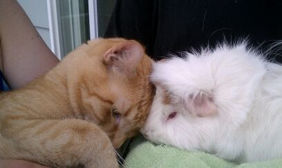 orange tabby cat with guinea pig