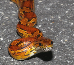 Corn Snake, south Georgia, USA