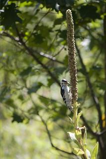 Downy Woodpecker 4597