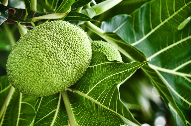 my current wallpaper, a breadfruit.