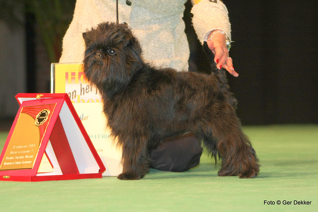 Header of Affenpinscher