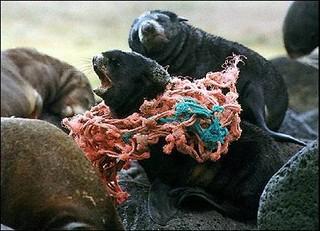 被網繩纏住的海洋哺乳類。(照片來源:The Ocean Conservancy)