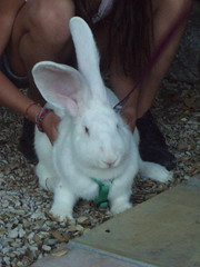 animal(1.0), rabbit(1.0), domestic rabbit(1.0), pet(1.0), angora rabbit(1.0), rabits and hares(1.0),