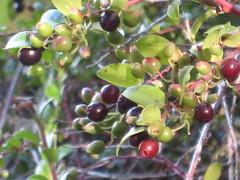 evergreen, berry, branch, tree, plant, arctostaphylos uva-ursi, flora, chokecherry, chokeberry, fruit,