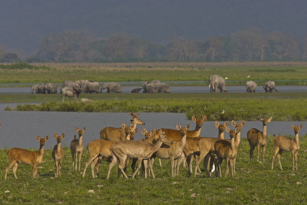 Deer and elephants - Kaziranga National Park, India
