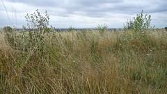 wetland(0.0), field(0.0), crop(0.0), lawn(0.0), marsh(0.0), bog(0.0), prairie(1.0), land lot(1.0), shrub(1.0), steppe(1.0), flower(1.0), grass(1.0), shrubland(1.0), plain(1.0), plant(1.0), wildflower(1.0), flora(1.0), natural environment(1.0), phragmites(1.0), meadow(1.0), pasture(1.0), rural area(1.0), grassland(1.0),