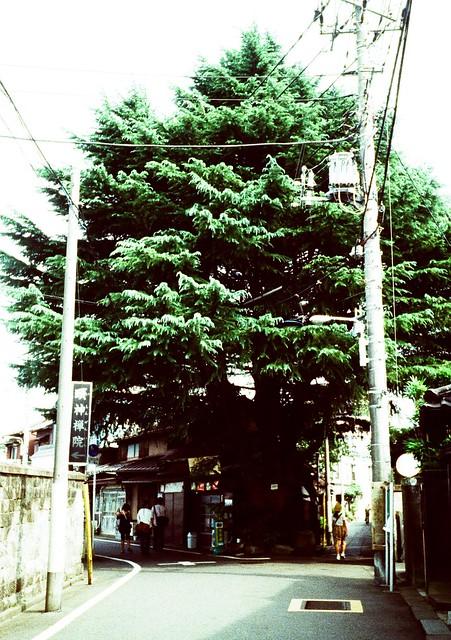 谷中のヒマラヤ杉