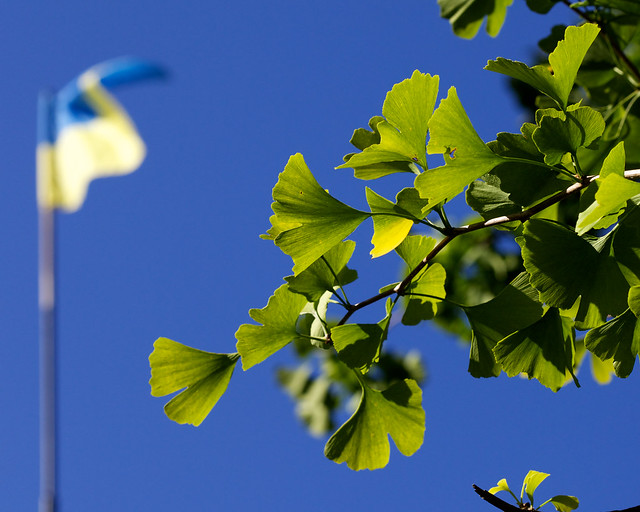Ukrainian flag and ginkgo. Striyskiy park, Lviv, Ukraine