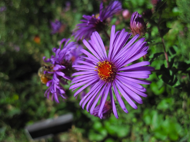 Aster laevis 'Blue Bird' blooms in the Shakespeare Garden. Photo by Rebecca Bullene.