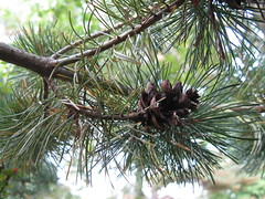 larch, evergreen, flower, branch, tree, plant, flora, conifer cone, spruce, twig,