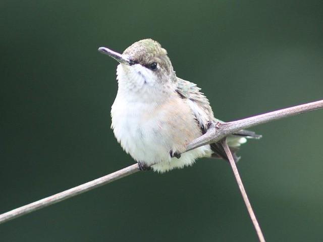 Ruby throated hummingbird baby - photo#2