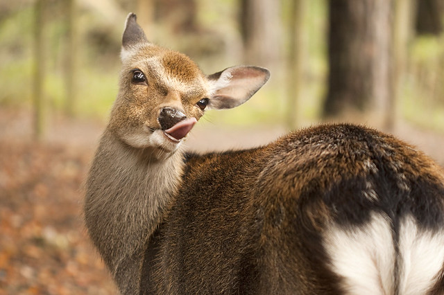how to cut the tongue out of a deer