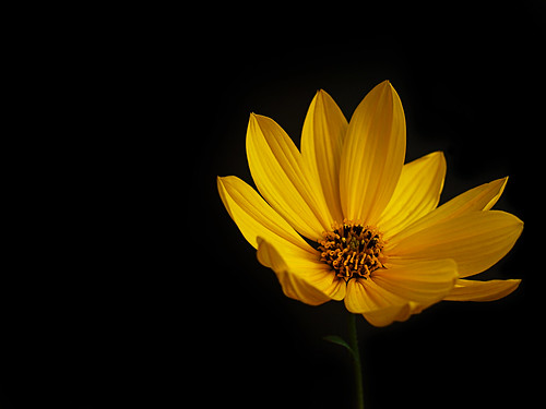 Yellow Flowers Black Background Black background flowerYellow Flowers Black Background