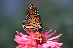 Monarch (Butterfly), Virginia