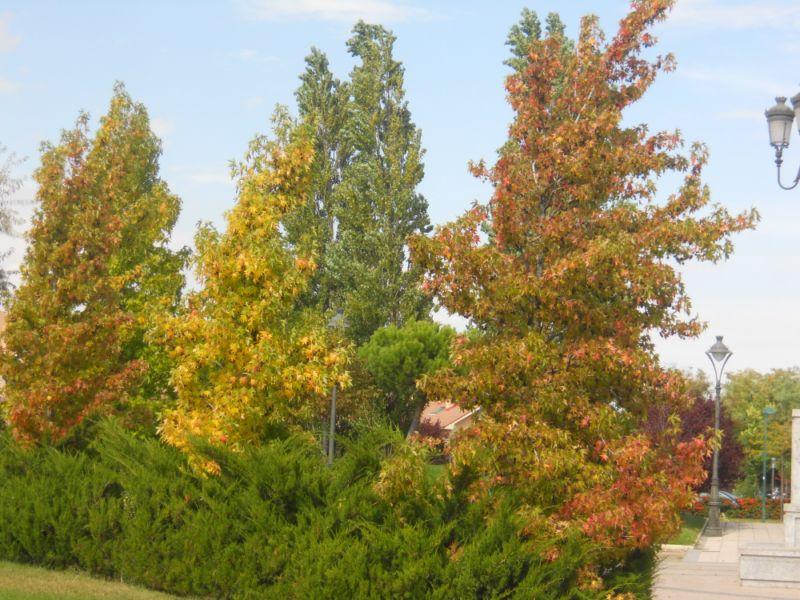 Platanos de oriente en otoño 1