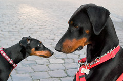 dog breed(1.0), animal(1.0), dog(1.0), german pinscher(1.0), manchester terrier(1.0), dobermann(1.0), pet(1.0), mammal(1.0), guard dog(1.0), pinscher(1.0), toy manchester terrier(1.0), austrian black and tan hound(1.0), black(1.0),