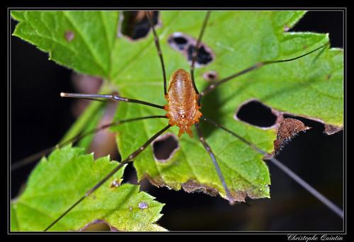 Opilio canestrinii mâle