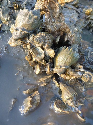 crown conchs on Saint Augustine oyster reef