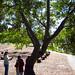 Small photo of Acacia longifolia
