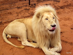 roar(0.0), wildlife(0.0), animal(1.0), mane(1.0), big cats(1.0), masai lion(1.0), lion(1.0), mammal(1.0), fauna(1.0),