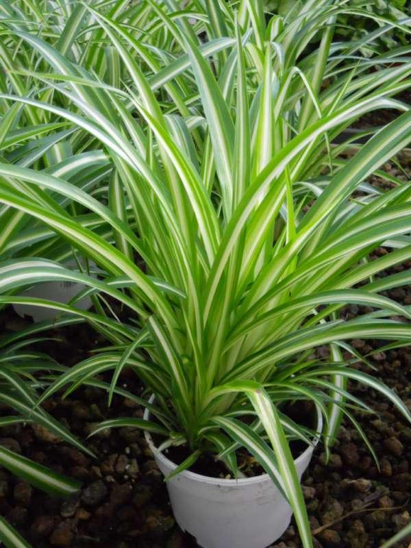 Chlorophytum comosum 'Variegatum' v 3