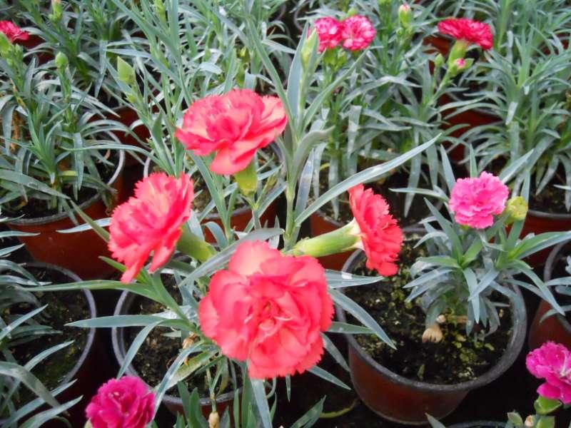 Dianthus caryophyllus 2