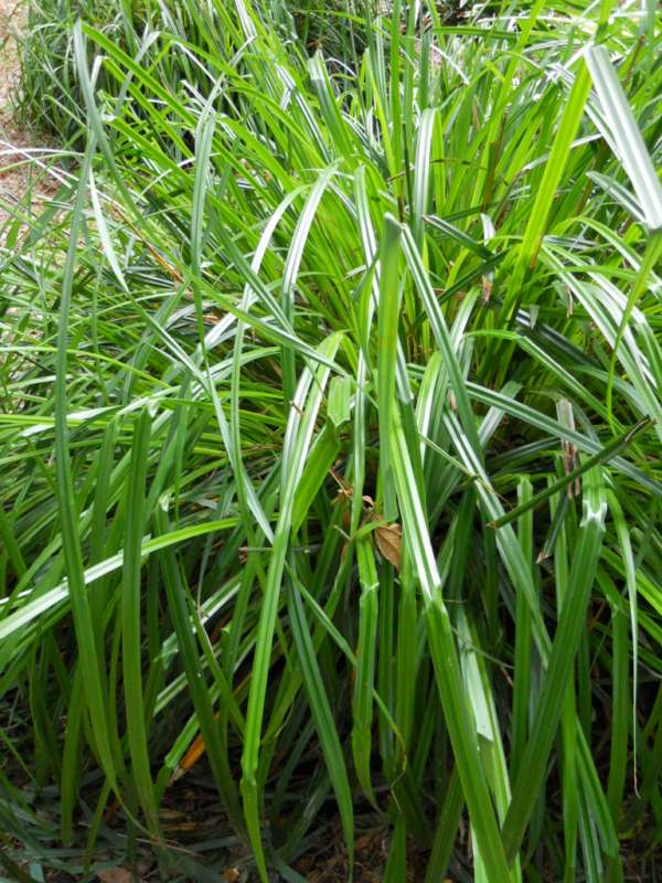 Carex pendula v 1